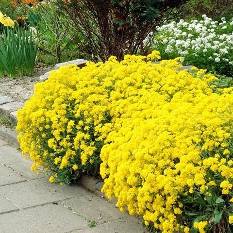Gold Alyssum Seeded Flower Mat - 2 Pack with Garden Shovel
