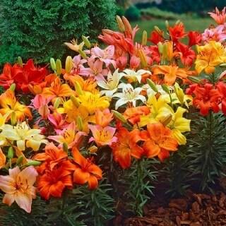 Dwarf Patio Oriental Lily Flower Bulbs