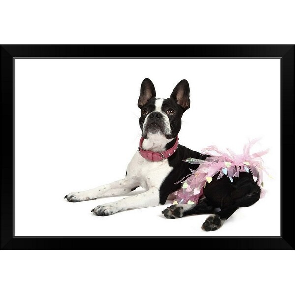 """Boston Terrier in a Tutu"" Black Framed Print"