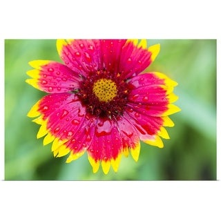 """Gaillardia flower"" Poster Print"