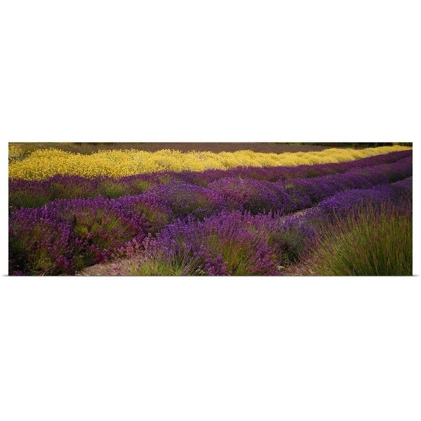 """Lavender and Yellow Flower fields, Sequim, Washington"" Poster Print"