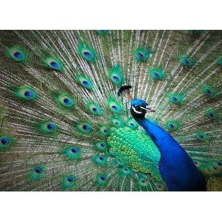 Peacock Photograph Wall Art Canvas (4 options available)