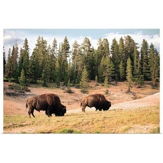"""""""Bison in Yellowstone National Park, Wyoming"""" Poster Print"""