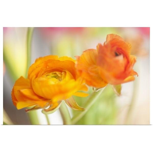 """Studio shot of orange Ranunculus"" Poster Print"
