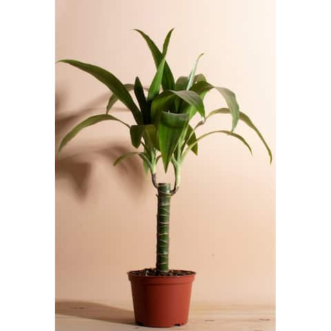 """Janet Craig in 6"""" Grower Pot - Natural - 6 Inches"""