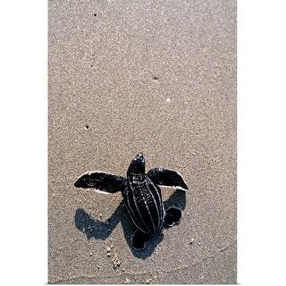 """Leatherback turtle hatchling,  crawling towards ocean, Florida"" Poster Print"