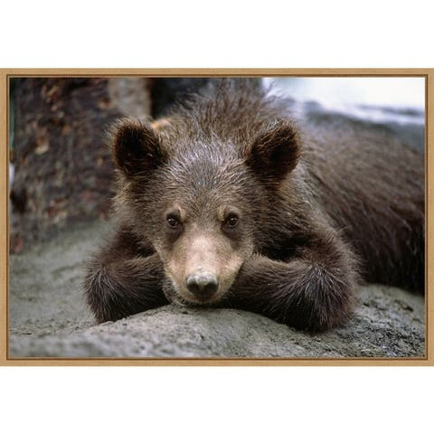 Grizzly Bear Cub Lying Down by Design Pics Framed Canvas Art