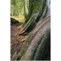 Poster Print entitled Smooth bark of western red cedar trees, close up, Ross Creek Scenic Area, Montana - multi-color