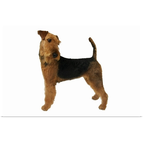 """""""Close up of an airedale terrier"""" Poster Print"""