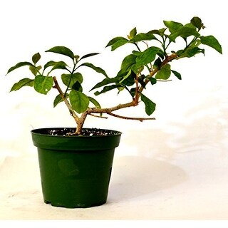 "9GreenBox - Royal Purple Bougainvillea -Indoors/Outdoor Plant 4"" Pot"