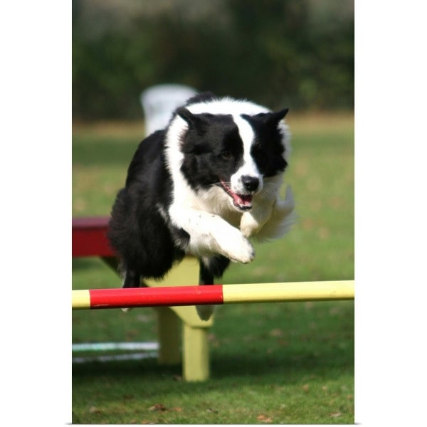 """""""Border Collie jumping over a hurdle"""" Poster Print"""