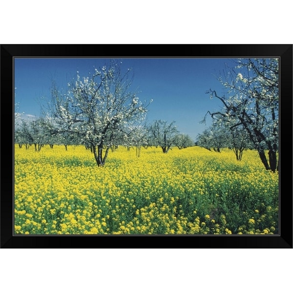 """Apple trees in a Mustard field, Napa Valley, California, USA"" Black Framed Print"