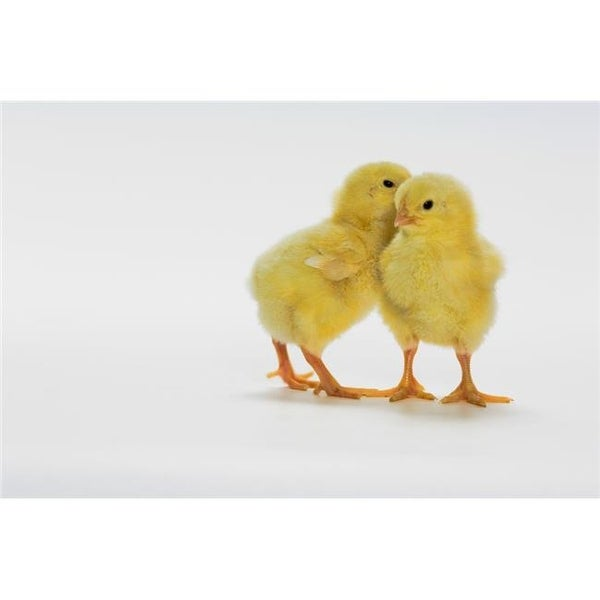 Shop Design Pics Yellow Chicks Baby Chickens Poster Print 17 X 11