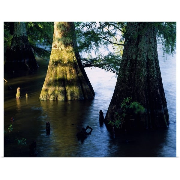 """Bald cypress trees (Taxodium distichum) in Lake Bolivar, close up, Mississippi"" Poster Print"
