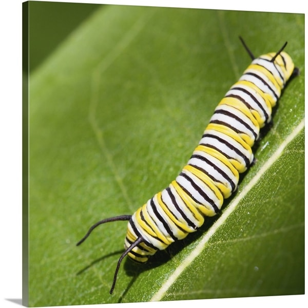 """""""Monarch butterfly caterpillar on a common milkweed leaf."""" Canvas Wall Art"""