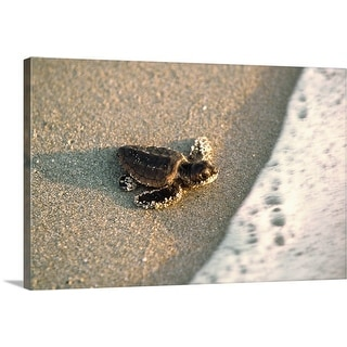 """Baby Loggerhead Sea Turtle"" Canvas Wall Art"
