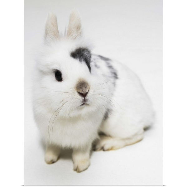 """White, black and brown rabbit"" Poster Print"