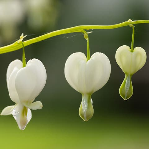 Old Fashioned Bleeding Hearts (White)- 2 or 4 Bare Roots