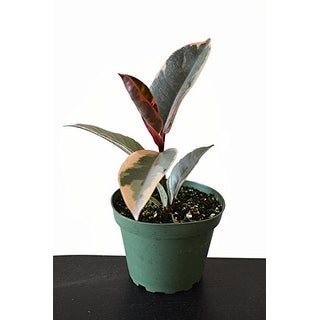 """9GreenBox -Tineke Rubber Tree Plant -Ficus- NEW yet very OLD - 4"""" Pot"""