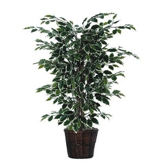 4' Variegated Ficus Bush - green / white