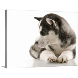 """""""New Husky puppy laying down"""" Canvas Wall Art"""
