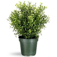"""24"""" Potted Artificial Realistic Argentea Jade Plant - Green"""