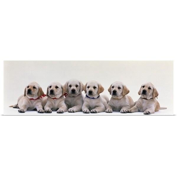 Shop Poster Print Entitled Labrador Puppies Multi Color Free