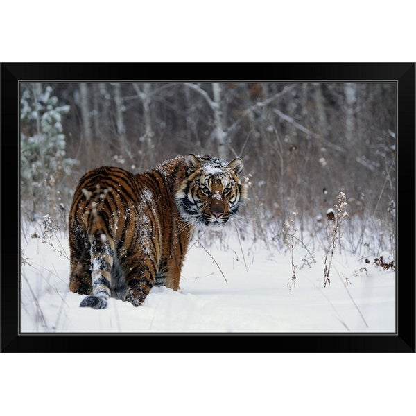 """Tiger standing in deep snow"" Black Framed Print"