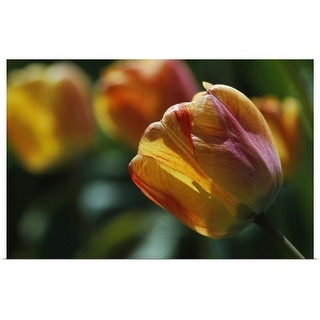 """""""Tulip flowers blooming, selective focus close up."""" Poster Print"""