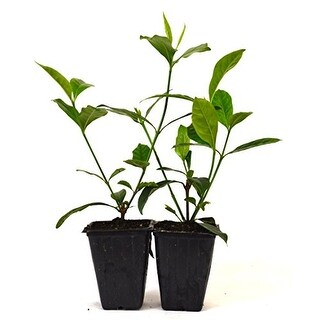 9GreenBox - Gardenia Jasminoides 'Veitchii' - Fragrant - 2 pack