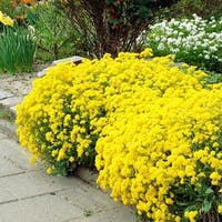 Gold Alyssum Seeded Flower Mat - 2 Pack with Garden Shovel