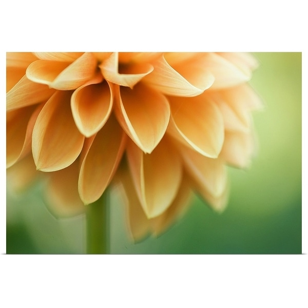 """Closeup of orange Dalia flower petals."" Poster Print"
