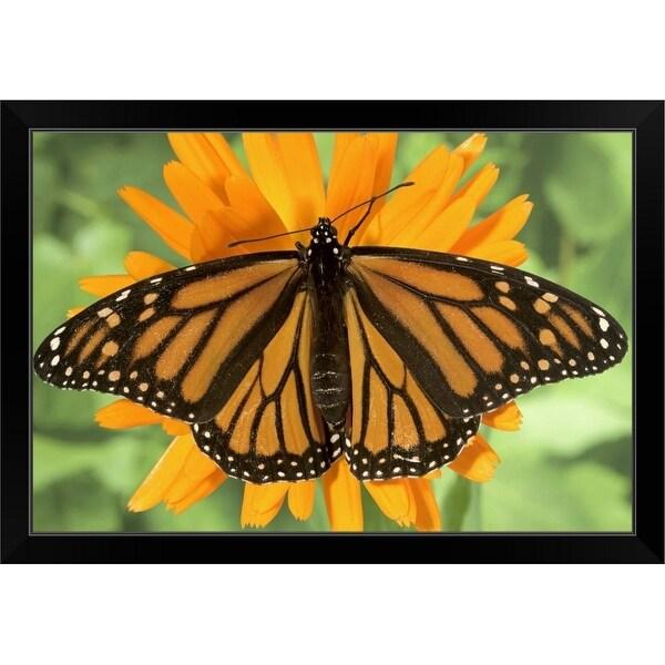"""Monarch butterfly (Danaus plexippus) on pot marigold (Calendula officinalis)."" Black Framed Print"