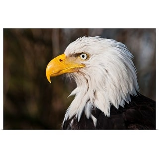 """Wild Bald Eagle staring"" Poster Print"
