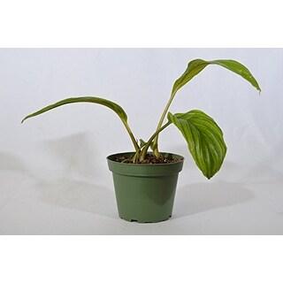 9GreenBox - Black Bat Tacca Flower - 4'' Pot
