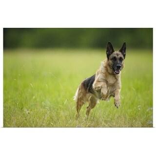 """German Shepherd leaping through the grass"" Poster Print"