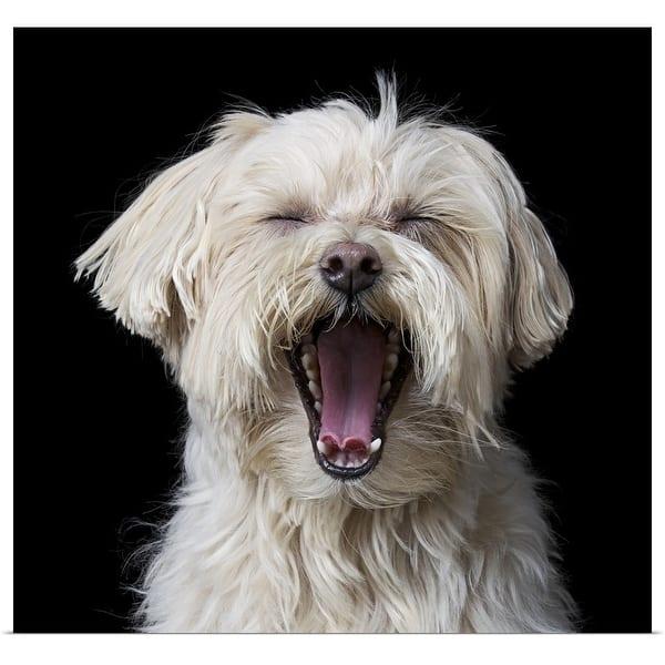 Shop Maltese Poodle Dog Yawning Multi Free Shipping On