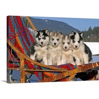 Premium Thick-Wrap Canvas entitled Four Siberian Husky puppies in a dogsled - Multi-color