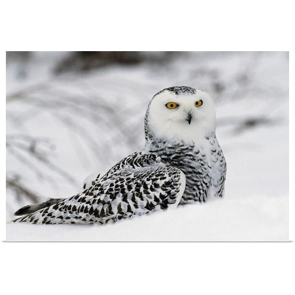 """Snowy owl in snow, Michigan"" Poster Print"
