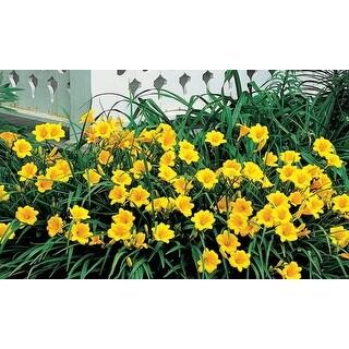 Stella D'Oro Daylily Flower Bulbs