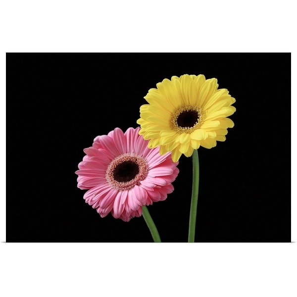 """""""Pink and yellow gerbera on black background, close-up."""" Poster Print"""