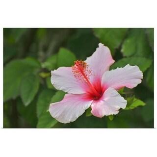 """Hibiscus Flower"" Poster Print"