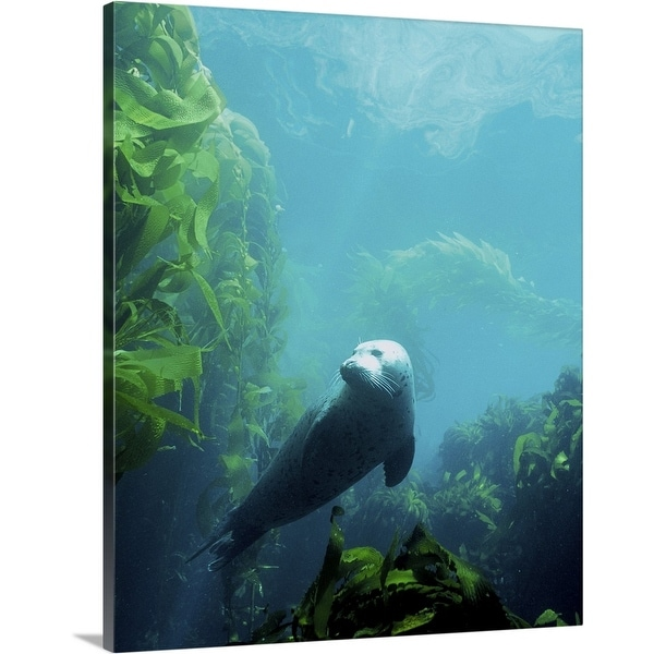"""""""Seal in the sun in Channel Islands National Park, California"""" Canvas Wall Art"""
