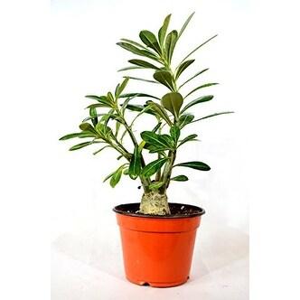Desert Rose Plant - Natural Bonsai - Adenium obesum-