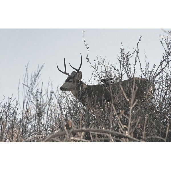 Deer With Antlers Canvas Wall Art Photograph