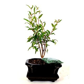 9GreenBox - Dwarf Pomegranate Mame Bonsai with Ceramic Pot