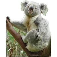 Advanced Graphics 55 Koala Bear Life Size Cardboard Standup