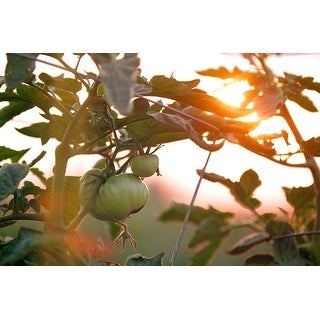 Green Tomato Plant Photograph Unframed Fine Art Print