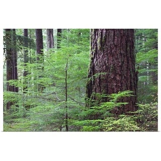 """""""Lush foliage in old-growth rain forest, Sol Duc Valley, Olympic National Park, Washington"""" Poster Print"""
