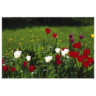 """""""Tulip flowers blooming in grass, New York"""" Poster Print"""